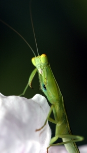 Garden Praying Mantis (Orthodera ministralis)