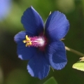 Anagallis arvensis (Blue form; Introduced)