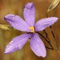 Cheiranthera linearis