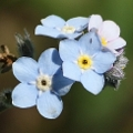 Myosotis discolor (Introduced)