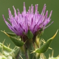 Silybum marianum  (Introduced)