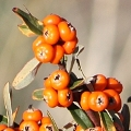 Pyracantha angustifolia (Introduced)