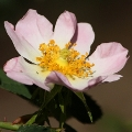 Rosa rubiginosa (Introduced)