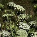 Ammi majus (Introduced)