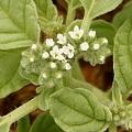 Heliotropium europaeum (Introduced)