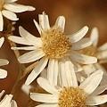 Rhodanthe corymbiflora