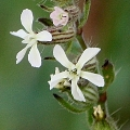 Silene gallica (Introduced)