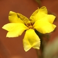 Goodenia pinnatifida