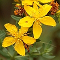 Hypericum perforatum (Introduced)