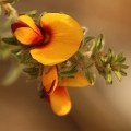 Pultenaea foliolosa