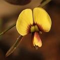 Templetonia stenophylla