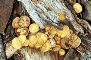 Bird's Nest Fungus (Crucibulum laeve)