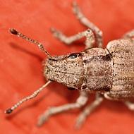 Weevil (Entiminae)