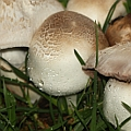 Agaricus sp. (possibly Agaricus xanthodermus)