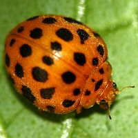 Epilachna vigintioctopunctata