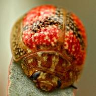Paropsis variolosa