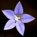 Wahlenbergia sp.