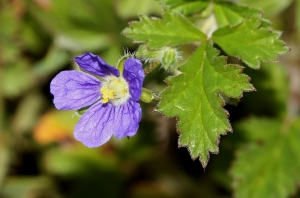 Blue Storksbill or Blue Crowfoot (Erodium crinitum)
