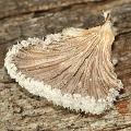 Schizophyllum commune (Underside)