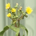 Sonchus asper (Introduced)