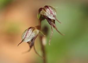 Mosquito Orchid (Acianthus collinus)