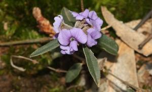 Hovea heterophylla