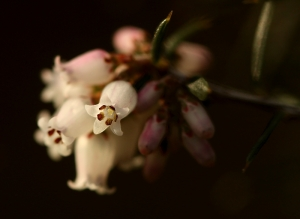 Peach Heath (Lissanthe strigosa)