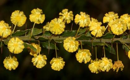 Kangaroo Thorn (Acacia paradoxa)