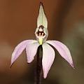 Caladenia (petalochilus) fuscata