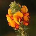 Pultenaea procumbens